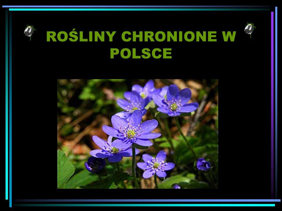 Rosliny Chronione W Polsce Ppt Pobierz