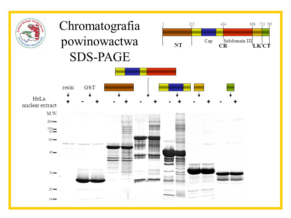 Chromatografia powinowactwa SDS-PAGE NT CR LK CT HeLa nuclear extract