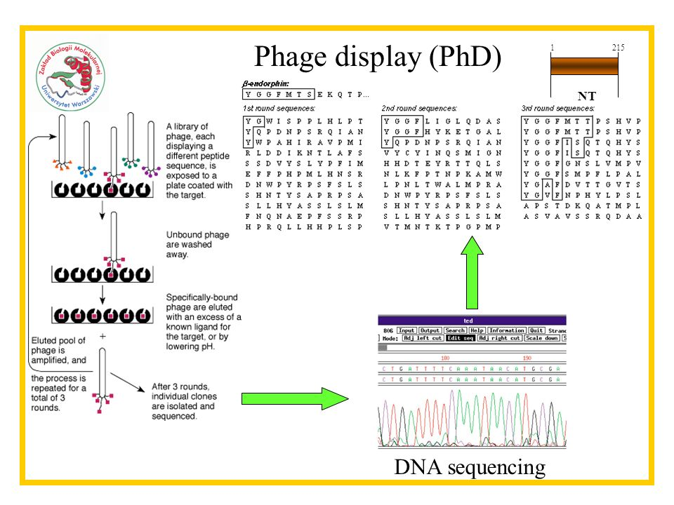 Phage display (PhD) 1 215 NT DNA sequencing