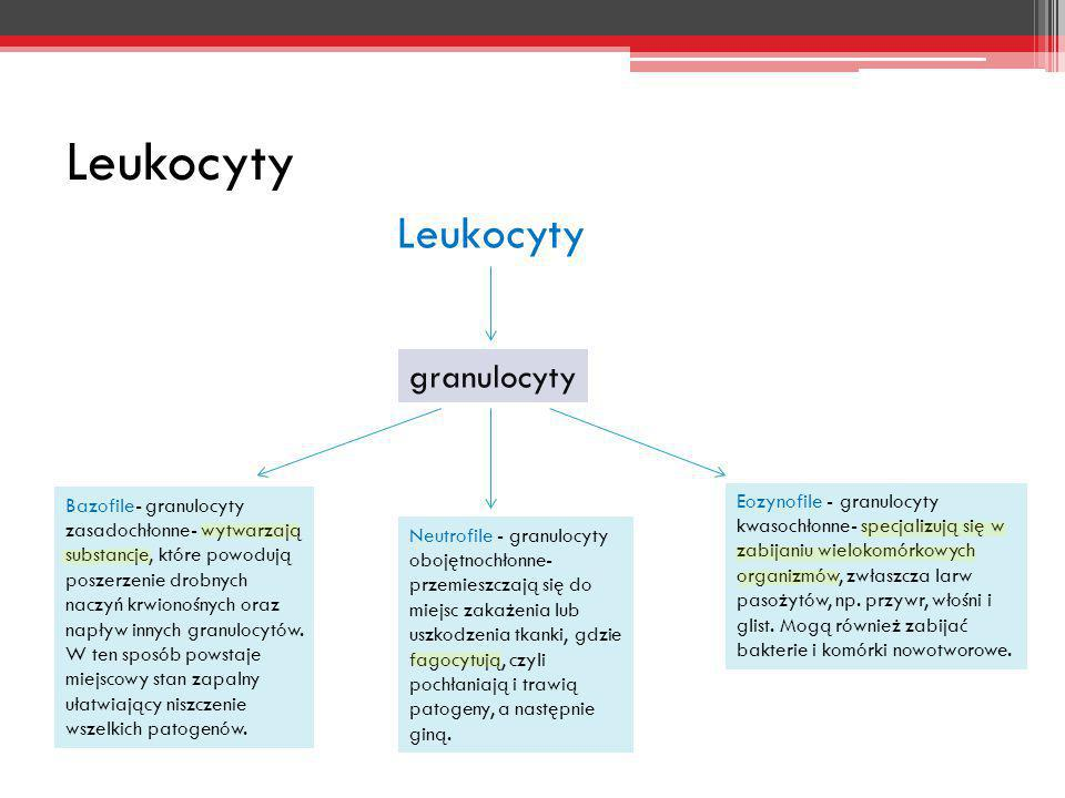 Leukocyty Leukocyty granulocyty