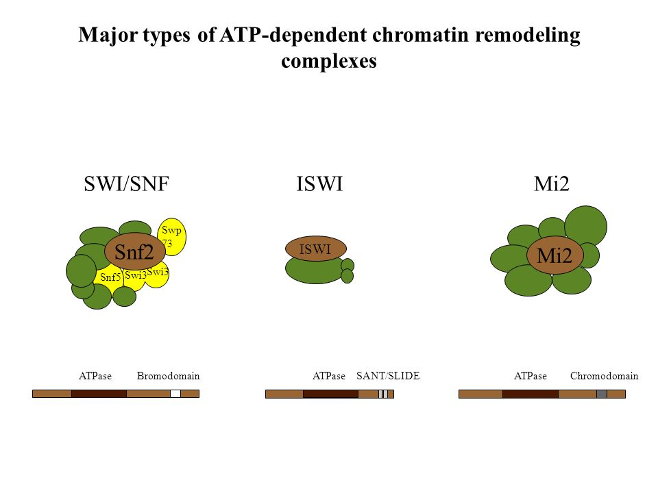 Major types of ATP-dependent chromatin remodeling complexes