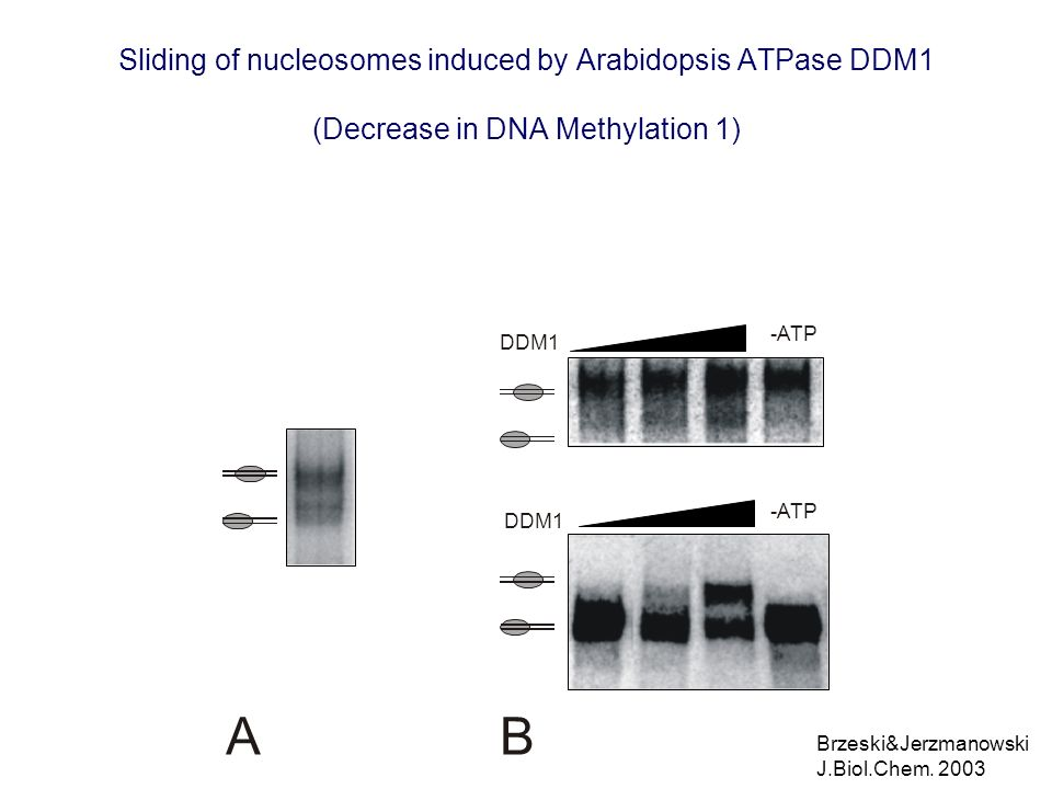 Sliding of nucleosomes induced by Arabidopsis ATPase DDM1 (Decrease in DNA Methylation 1)