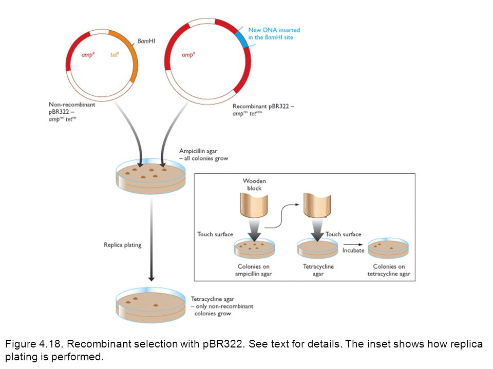 Figure 4. 18. Recombinant selection with pBR322. See text for details
