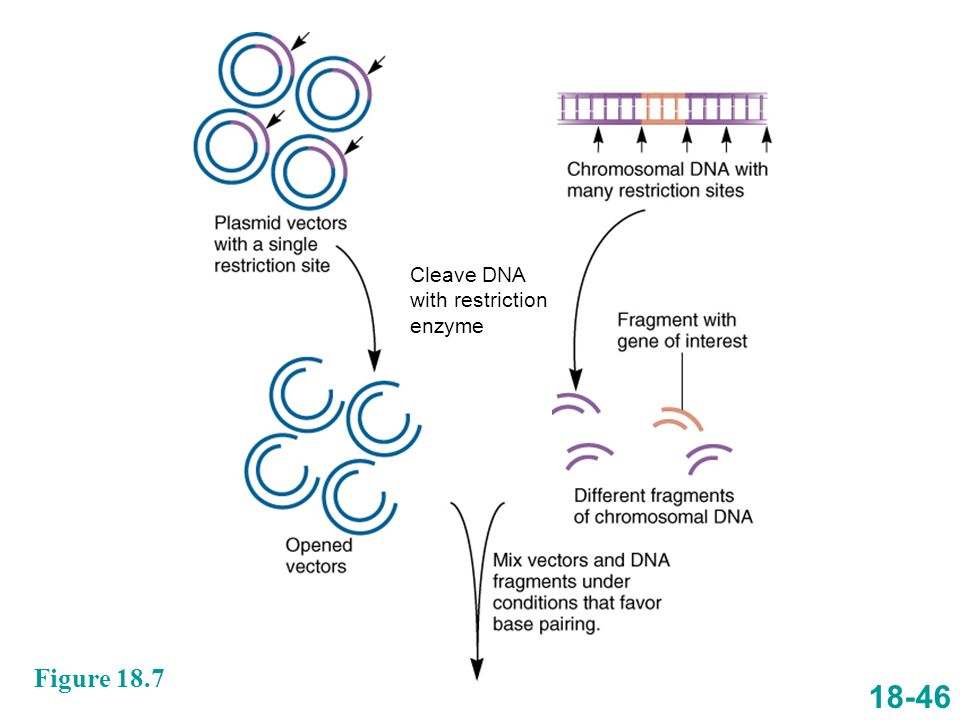 Cleave DNA with restriction enzyme Figure 18.7 18-46