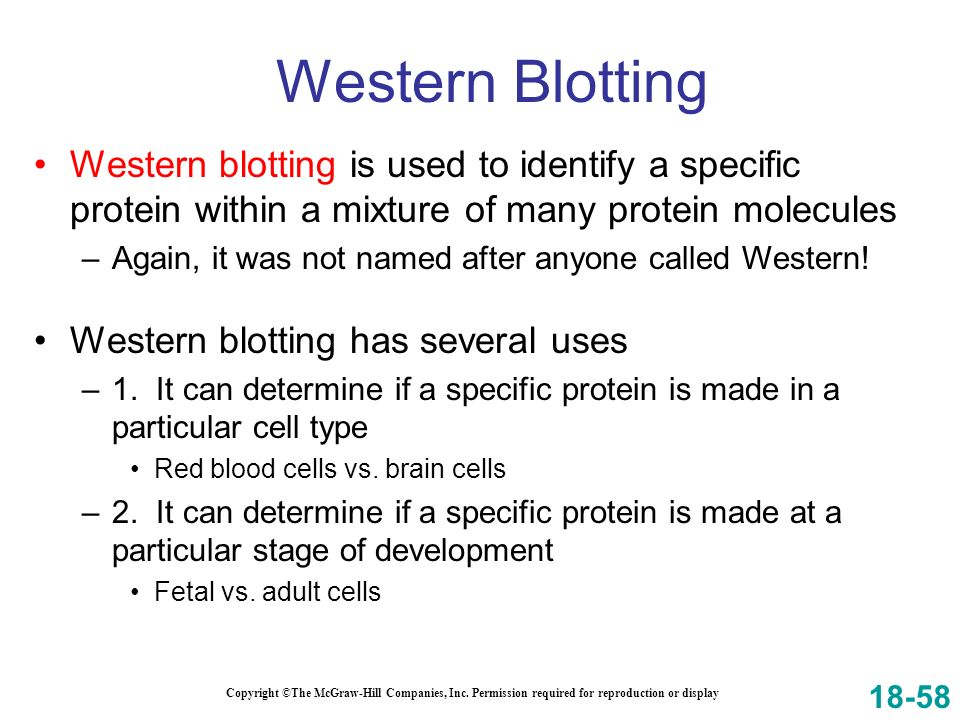 Western Blotting Western blotting is used to identify a specific protein within a mixture of many protein molecules.