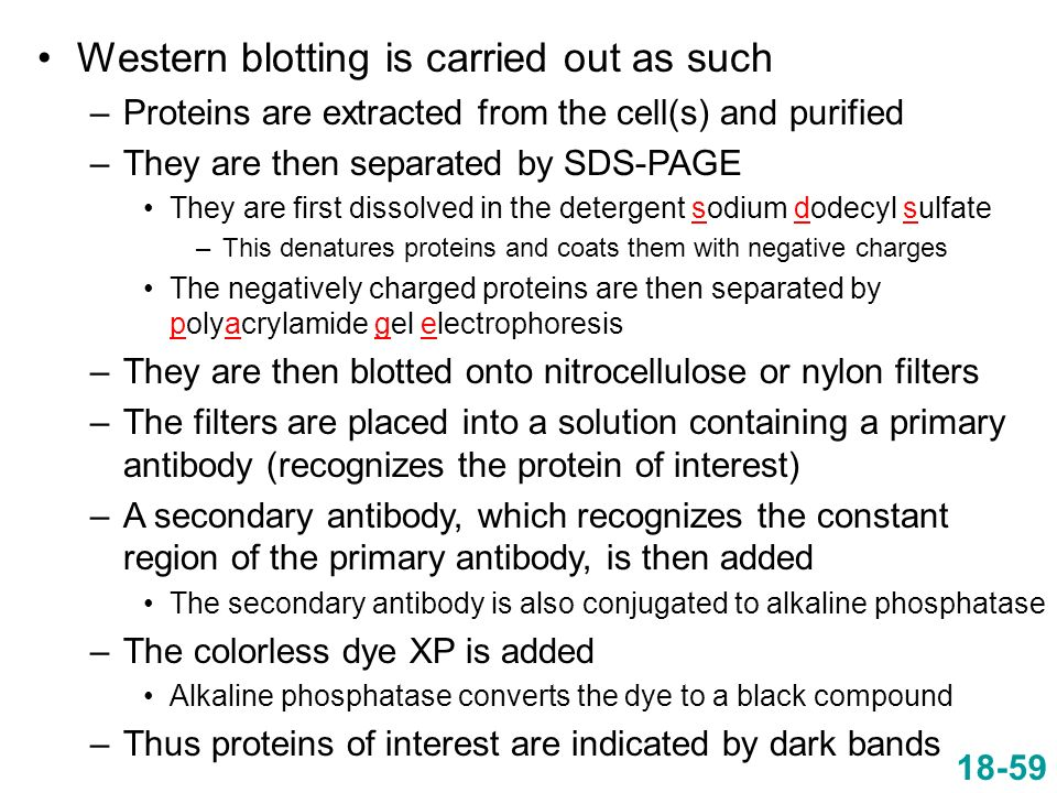 Western blotting is carried out as such