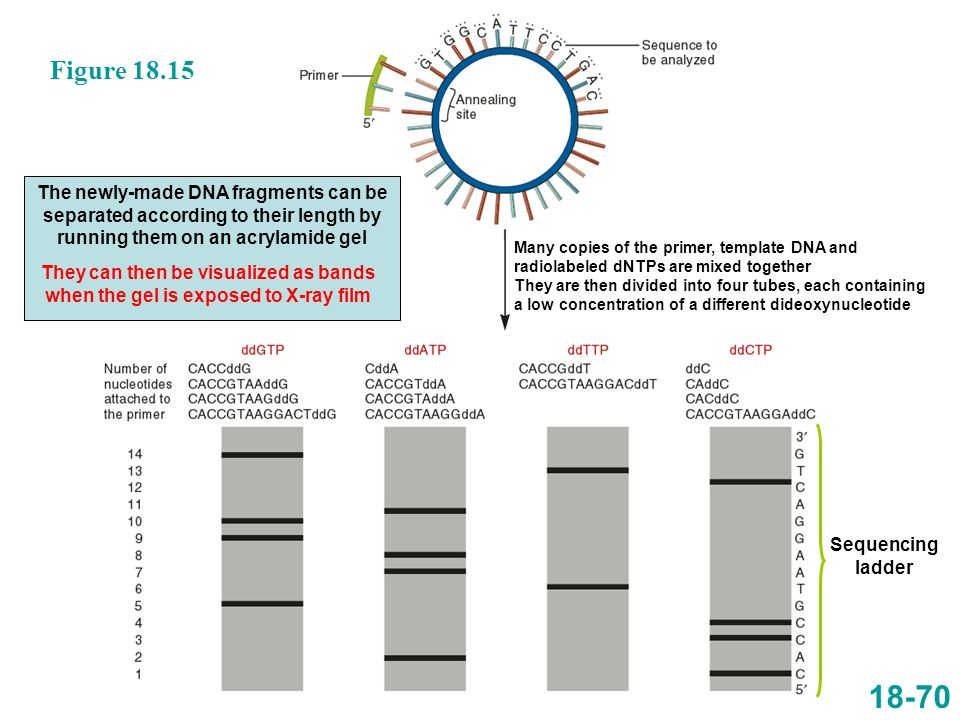 Figure 18.15 The newly-made DNA fragments can be separated according to their length by running them on an acrylamide gel.