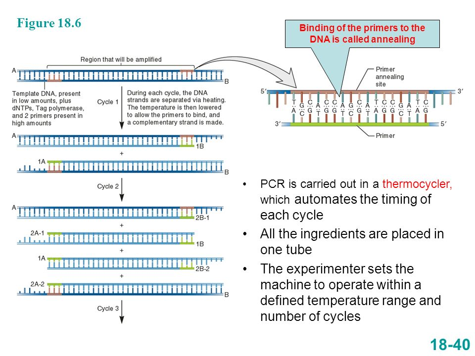 Binding of the primers to the DNA is called annealing