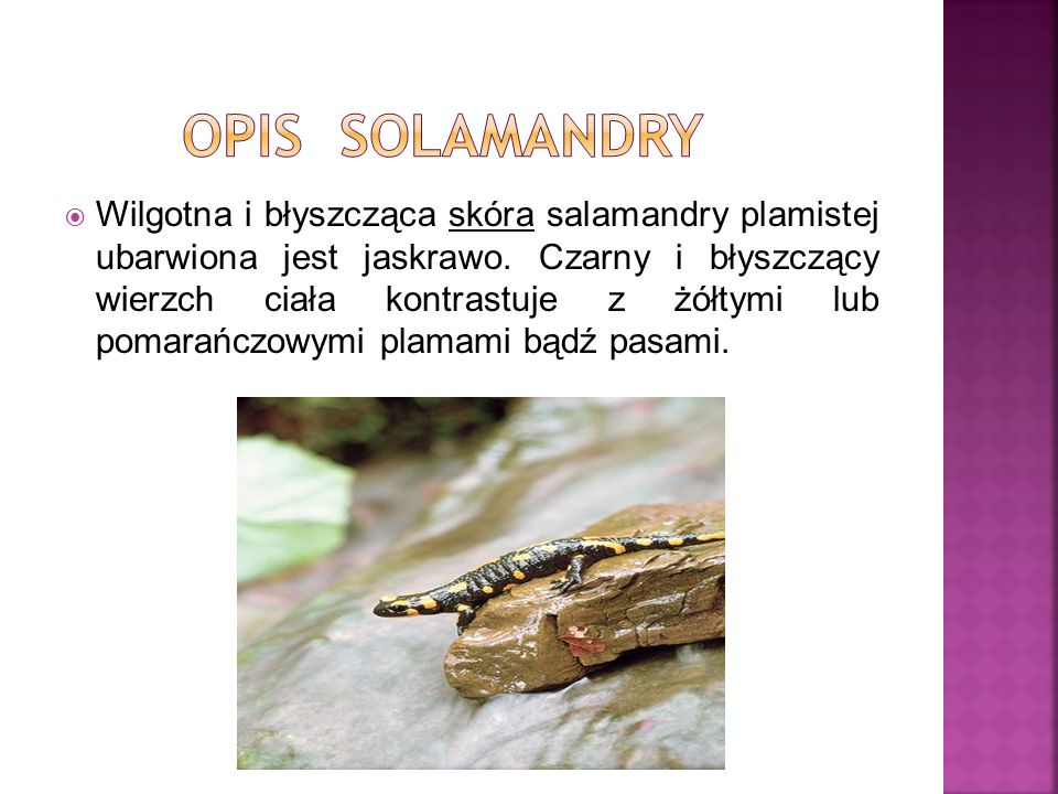 opis solamandry