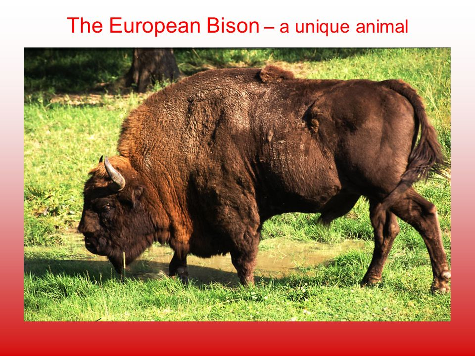 The European Bison – a unique animal