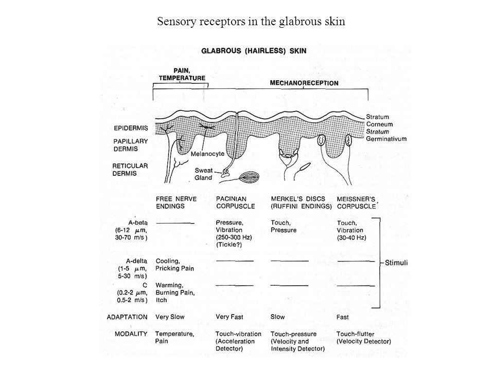 Sensory receptors in the glabrous skin