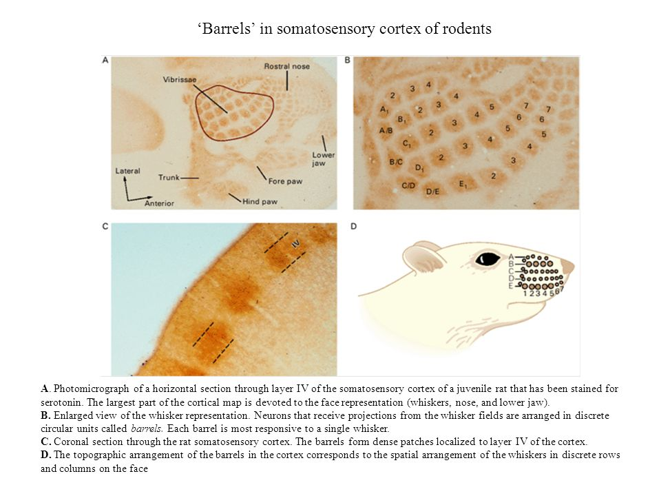'Barrels' in somatosensory cortex of rodents