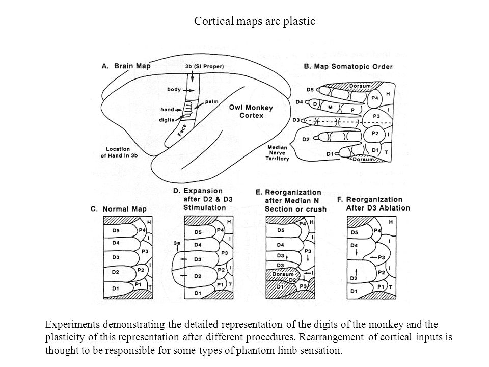 Cortical maps are plastic