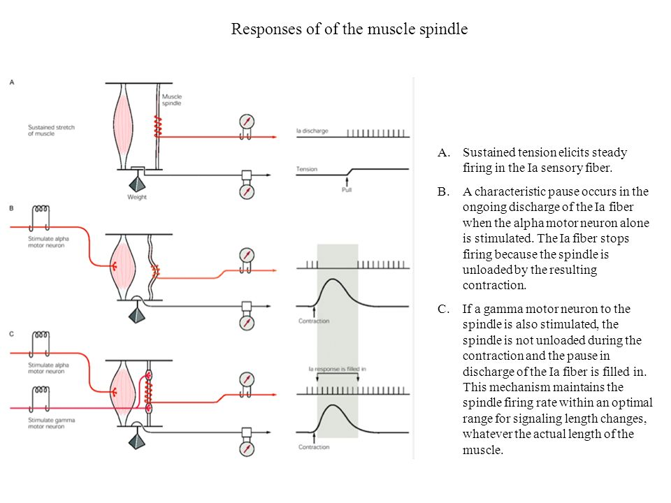 Responses of of the muscle spindle