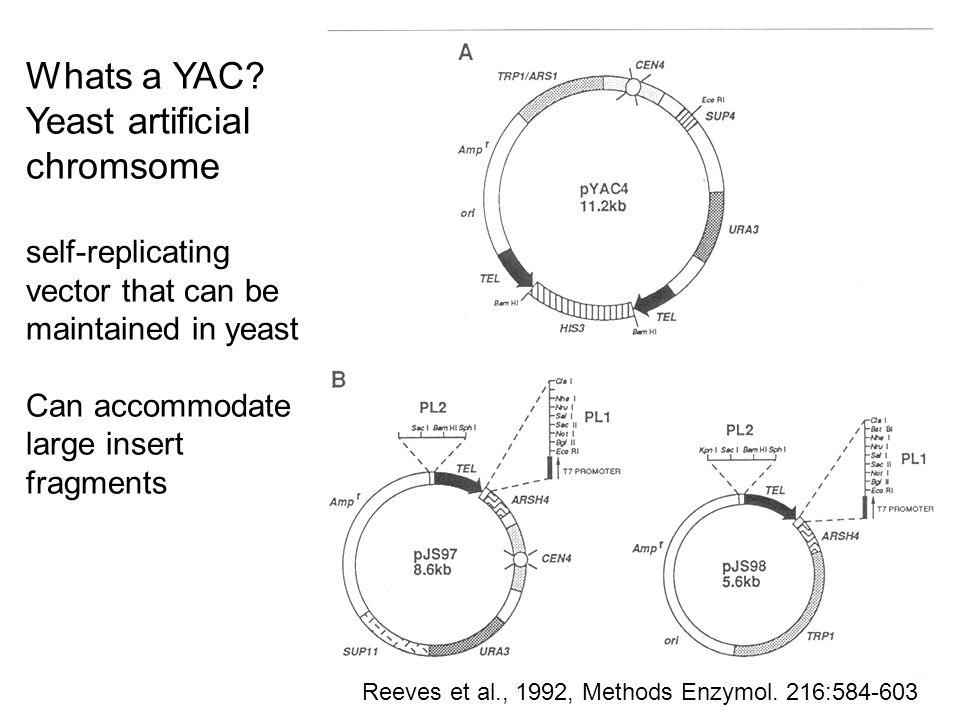 Whats a YAC Yeast artificial chromsome