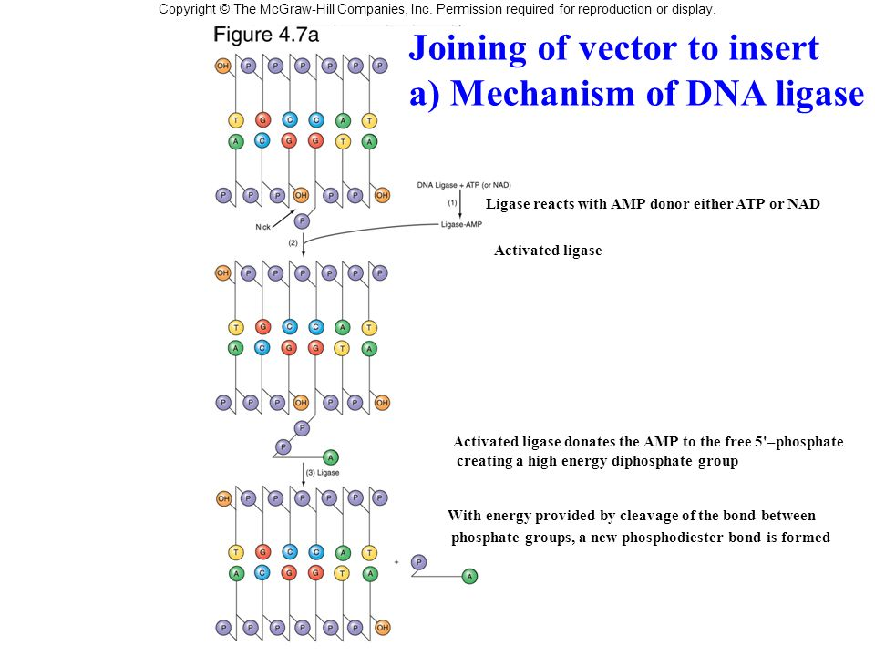 Joining of vector to insert a) Mechanism of DNA ligase