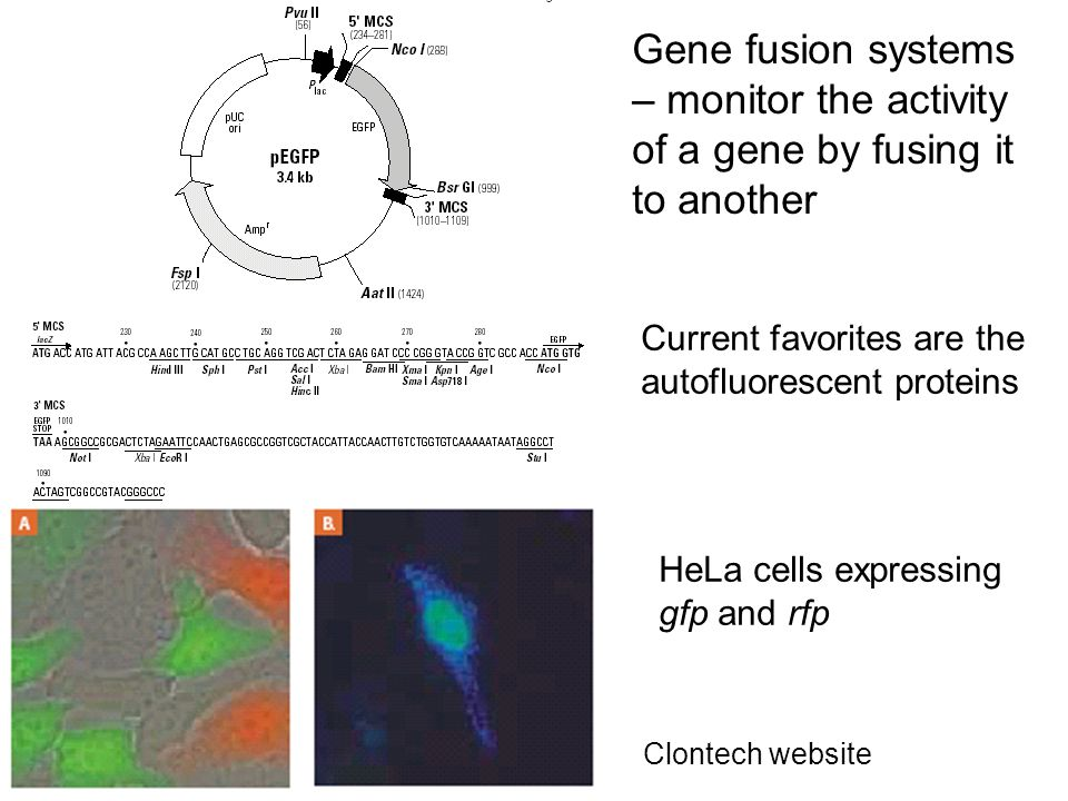 Gene fusion systems – monitor the activity of a gene by fusing it to another