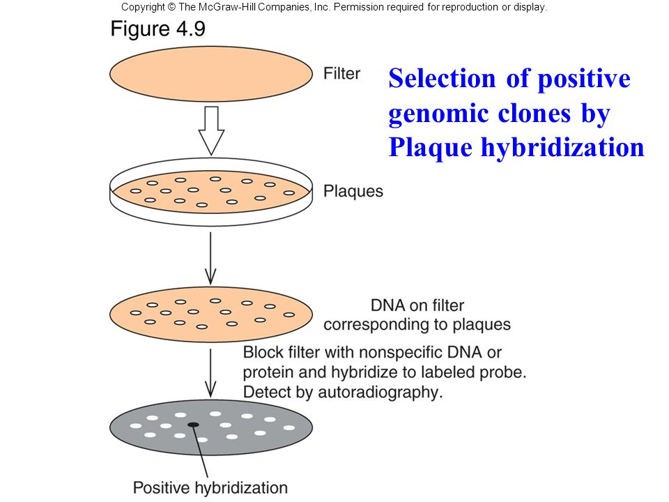 Selection of positive genomic clones by Plaque hybridization