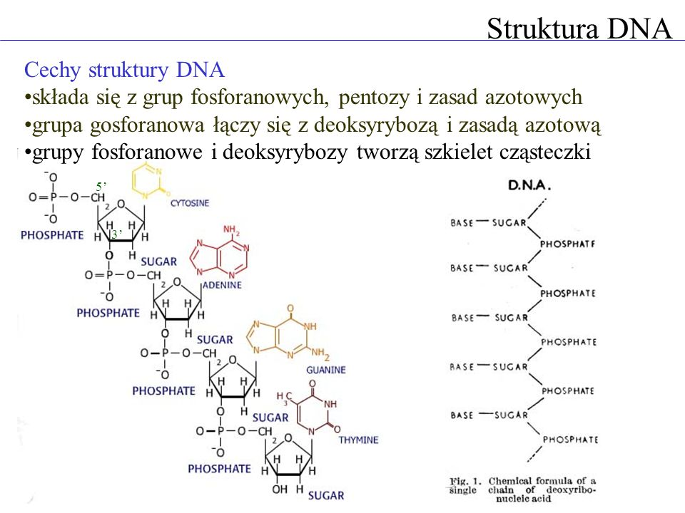 Struktura DNA Cechy struktury DNA