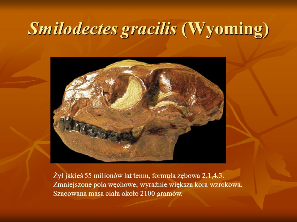 Smilodectes gracilis (Wyoming)