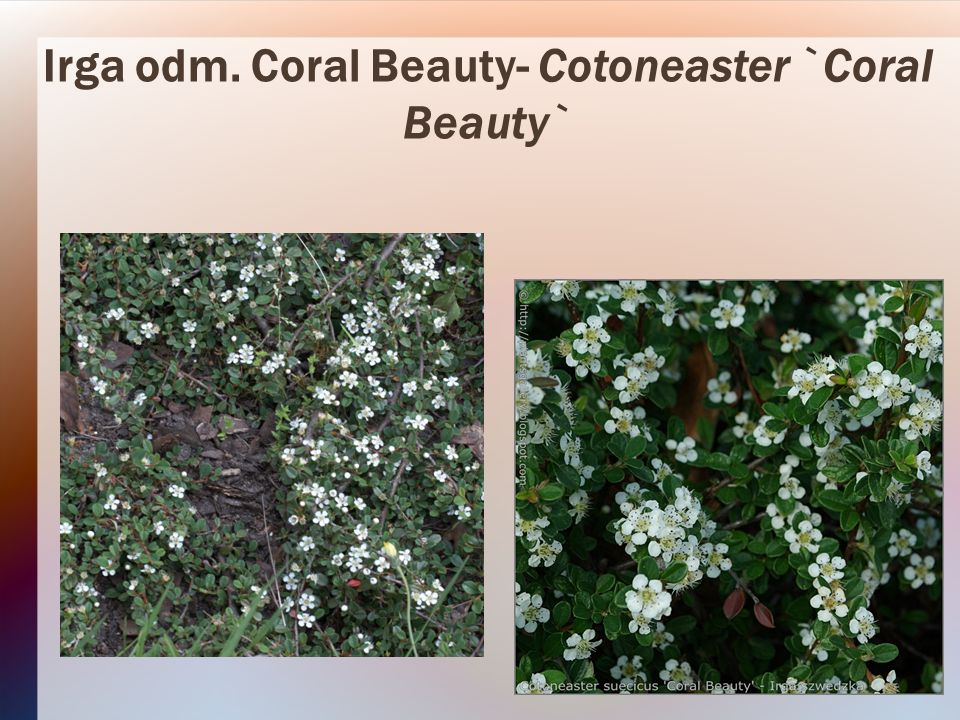 Irga odm. Coral Beauty- Cotoneaster `Coral Beauty`