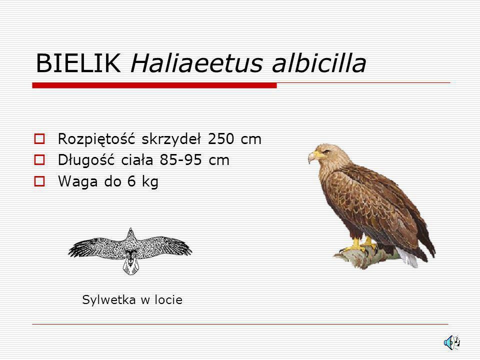 Ptaki Drapieżne W Polsce Ppt Video Online Pobierz