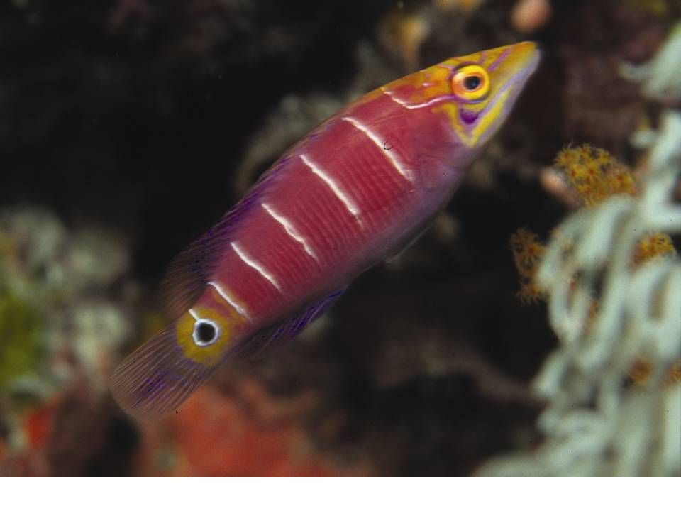 White Barred Wrasse-cryptic hides on reef slope meter