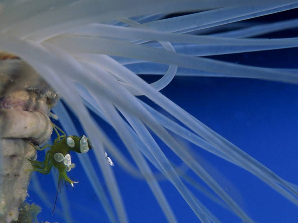 Tube Anemone with Anemone Shrimp